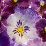 A close-up of purple pansies