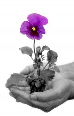 Photo of a pansy in hand for Pansy Tribute Fund