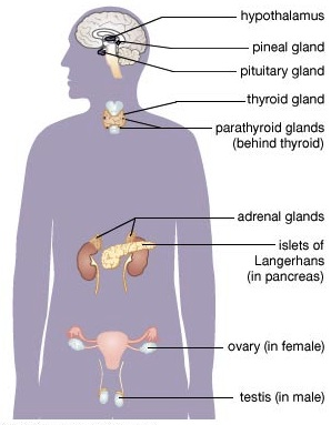 Diagram of the endocrine system