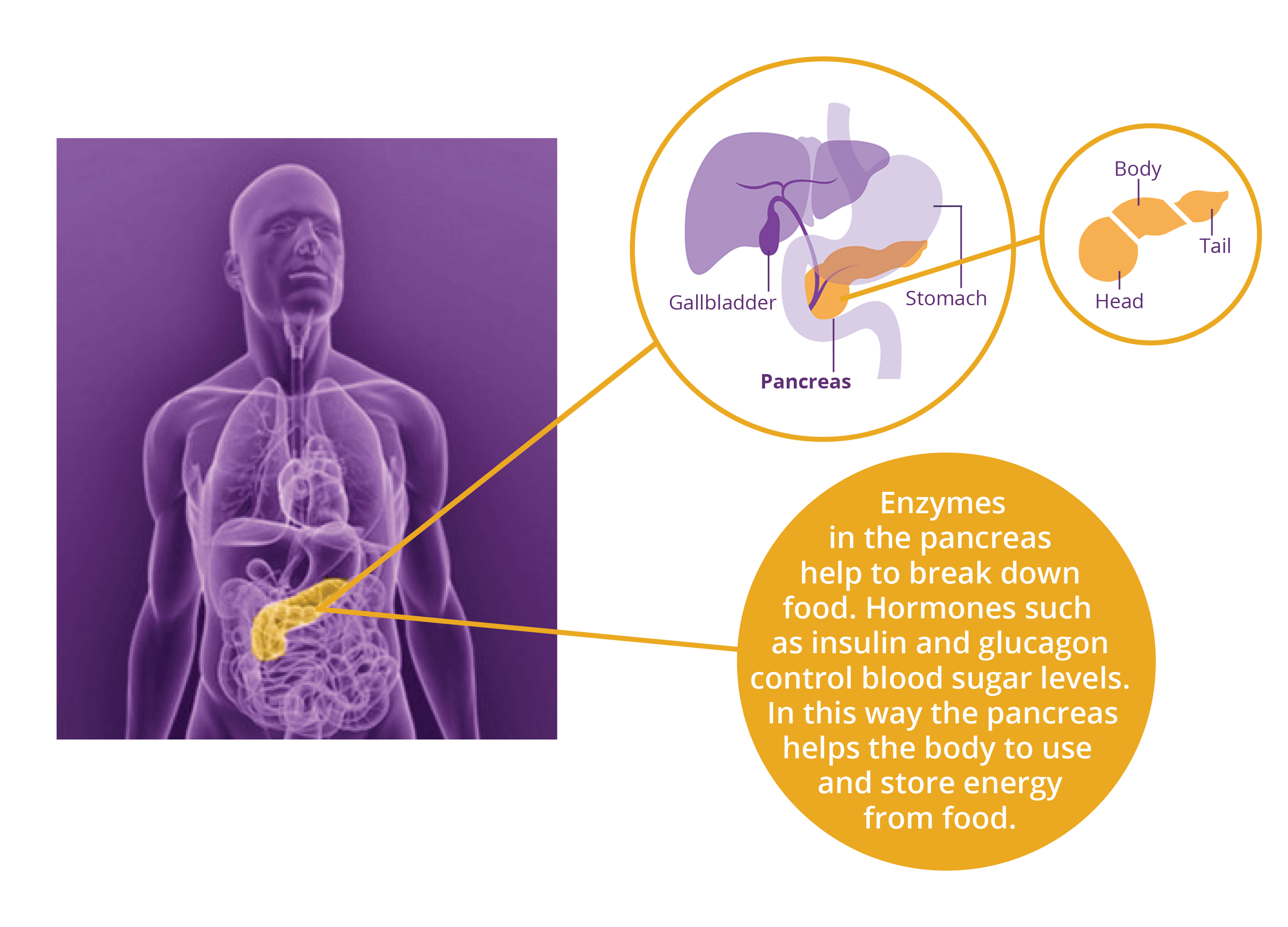 Diagram - location of the pancreas