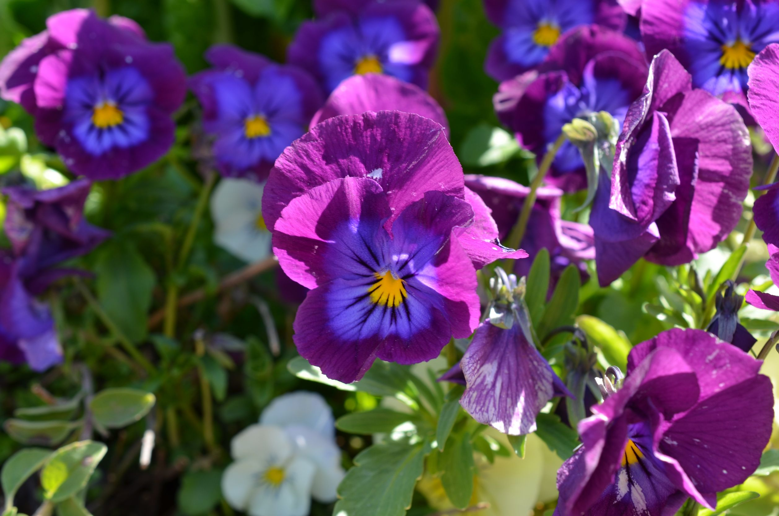 Set up a pansy tribute fund for Pancreatic Cancer Action