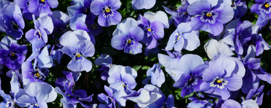 An image of purple pansies, an emblem of Pancreatic Cancer Action, here for supporter shares her story