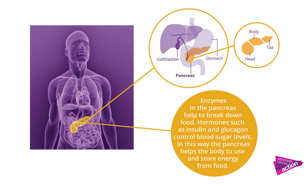A diagram showing what is the pancreas and what is looks like