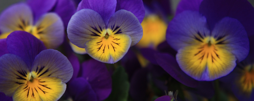 Pansy Tribute with Pancreatic Cancer Action